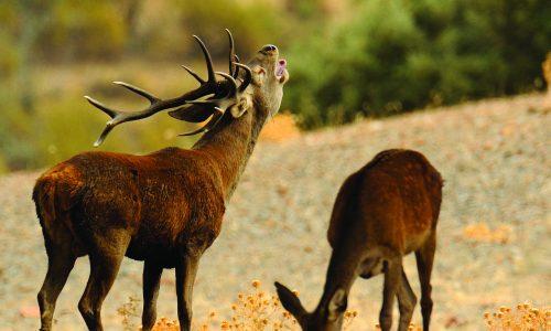 Factores que determinan la berrea y métodos de caza
