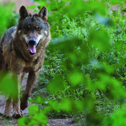 Los lobos de la discordia