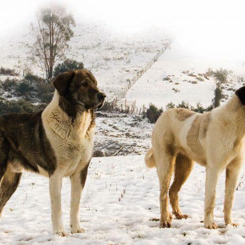 Perros de caza asilvestrados