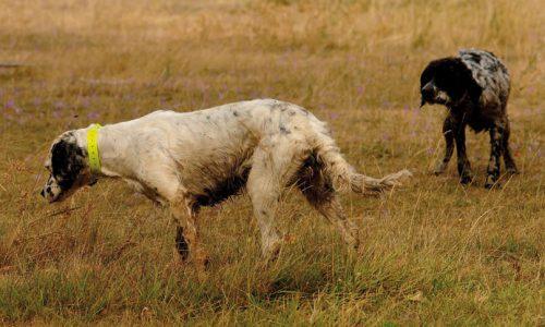Cómo prevenir los problemas de los perros de caza antes y durante la media veda