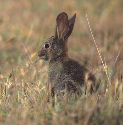 Conejos-de-monte_conejo-2