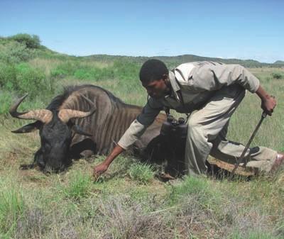 Caza-mayor-reportajes-internacional-caza-en-Africa-de ñues-y-otras-bestias-image14