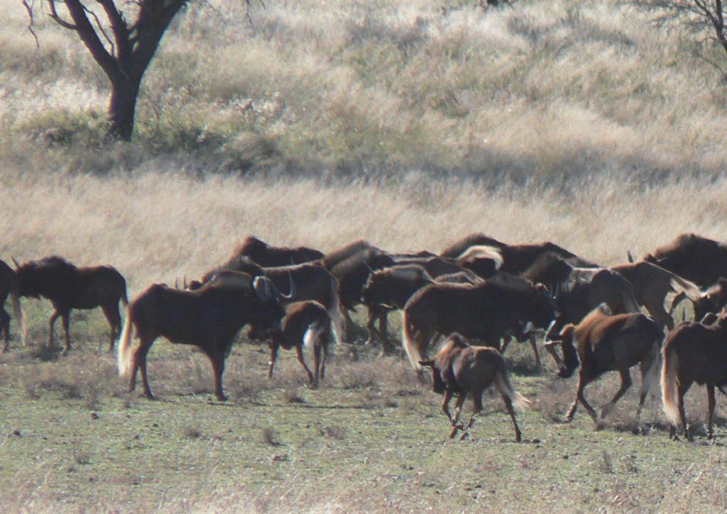Caza-mayor-reportajes-internacional-caza-en-Africa-de ñues-y-otras-bestias-image20