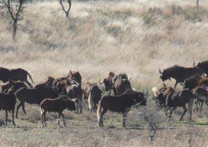 Caza-mayor-reportajes-internacional-caza-en-Africa-de ñues-y-otras-bestias-image22