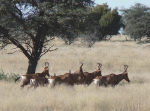 Caza-mayor-reportajes-internacional-caza-en-Africa-de ñues-y-otras-bestias_image10