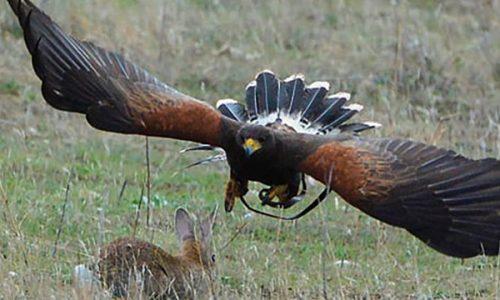 El águila de Harris. ¿Cómo entrenarla?