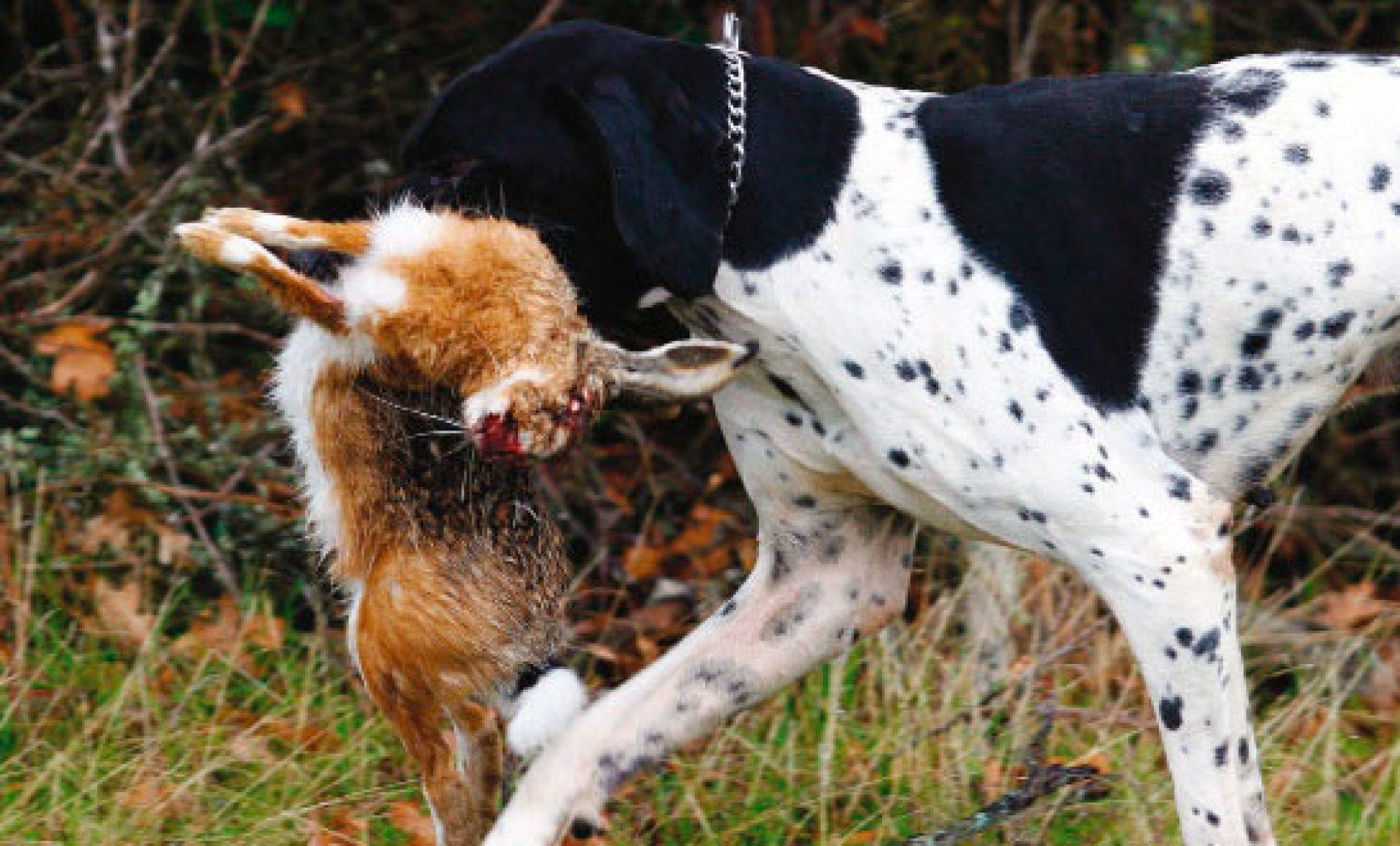 Tras perdices, liebres, conejos y patos con perros de muestra