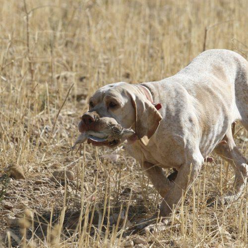Factores clave para entrenar a un buen perro de caza