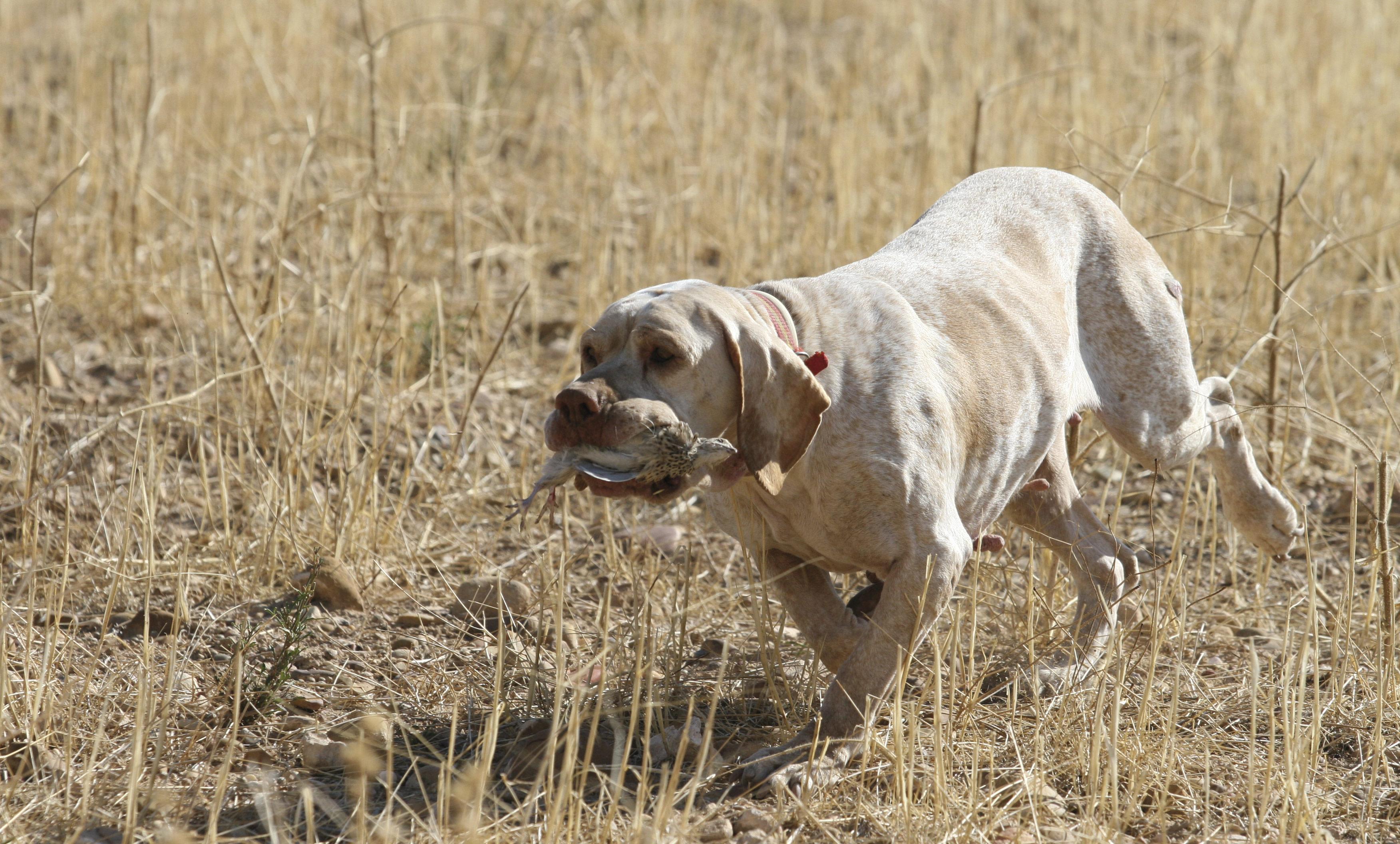 Factores clave para entrenar a un buen perro de caza - Pienso para perros de caza ...