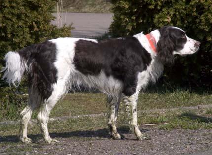 perros-razas-home-spaniel-frances