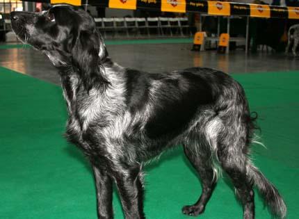 perros-razas-home-spaniel-azul-de-picardia