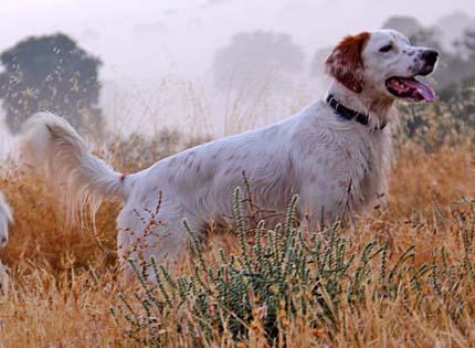perros-razas--home-setter-ingles