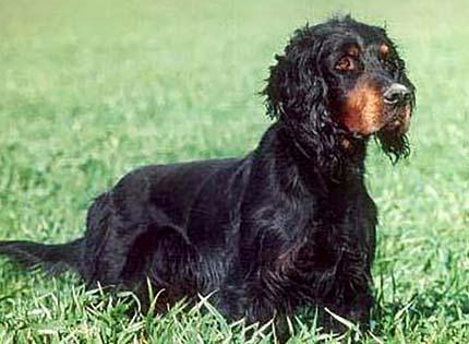perros-razas-home-setter-gordon