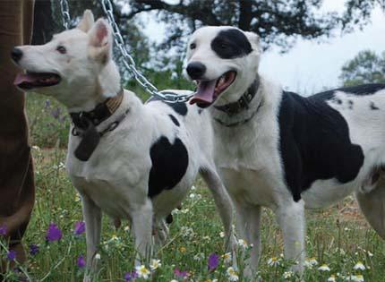 perros-razas-home-podenco-paternino-de-huelva