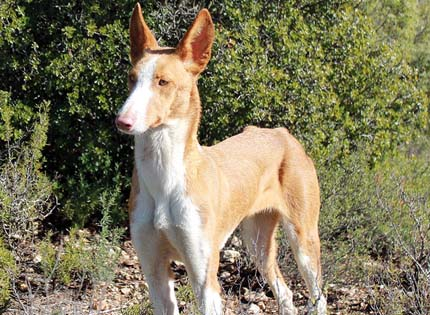 perros-razas-home-podenco-ibicenco