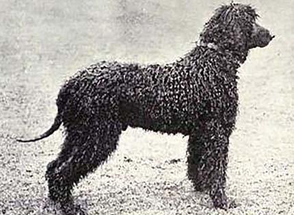 perros-razas-home-perro-de-agua-irlandes