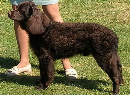 perros-razas-home-perro-de-agua-americano
