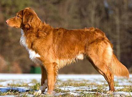 perros-razas-home-perro-cobrador-de-nueva-escocia