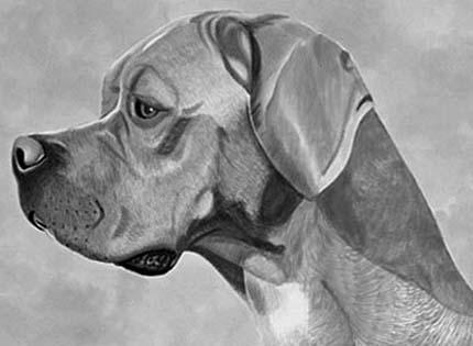 perros-razas-home-perdiguero-portugues
