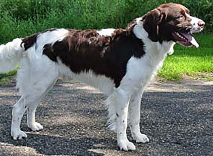 perros-razas-home-perdiguero-de-drente