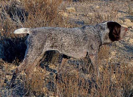 perros-razas-home-perdiguero-de-burgos
