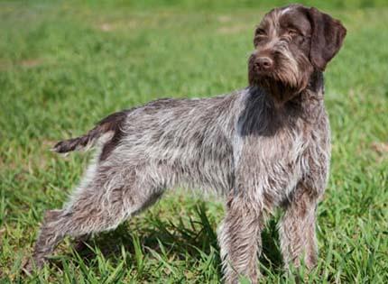 perros-razas-home-grifon-de-pelo-duro