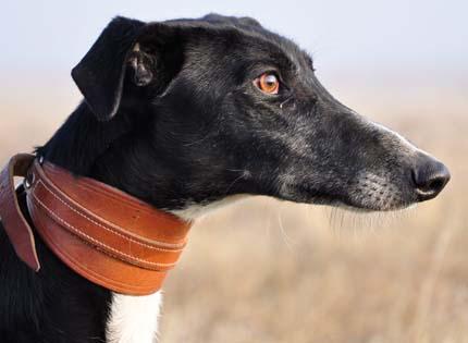 perros-razas-home-galgo-espanol