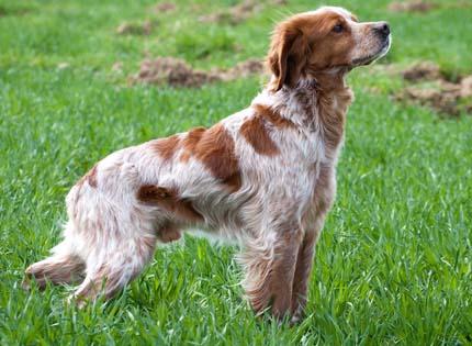 perros-razas-home-epagneul-breton