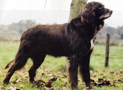 perros-razas-home-deutsch-danghaar