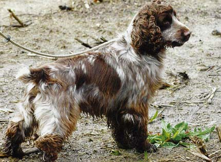 perros-razas-home-cocker-spaniel-ingles