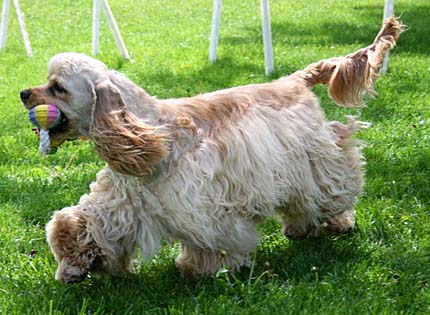 perros-razas-home-cocker-spaniel-ameriano