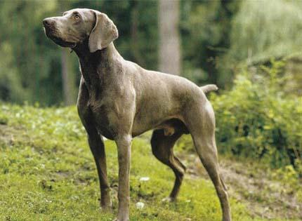 perros-razas-home-braco-de-weimar