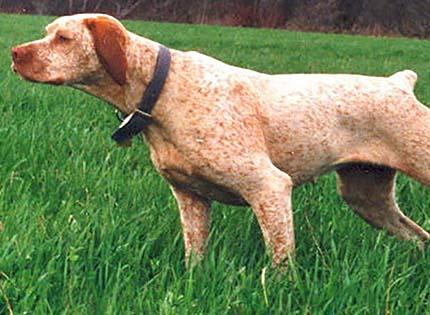perros-razas-home-braco-del-borbosenado
