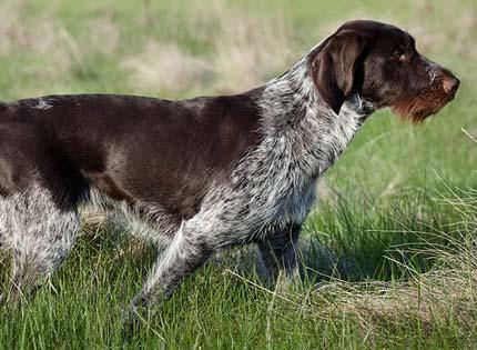 perros-razas-home-braco-aleman-de-pelo-duro–deutsch-drahthaar