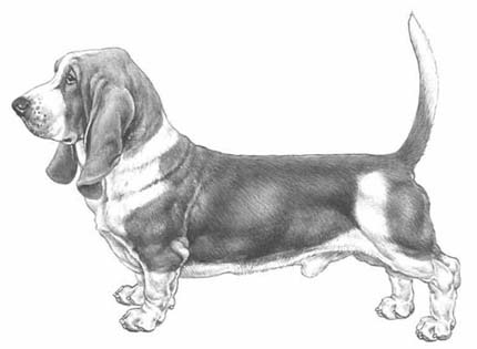 perros-razas-home-basset-hount