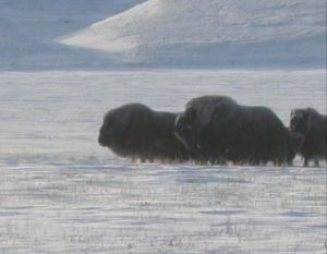 Caza-mayor-reportajes-internacional-caza-de-buey- almizclero-en-Canadá-17