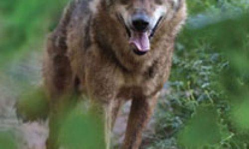Ataques de lobo al ganado
