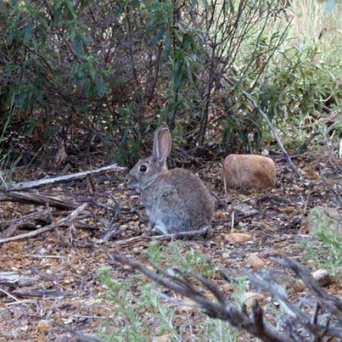 El descaste de conejos ¿Es una modalidad siempre adecuada?