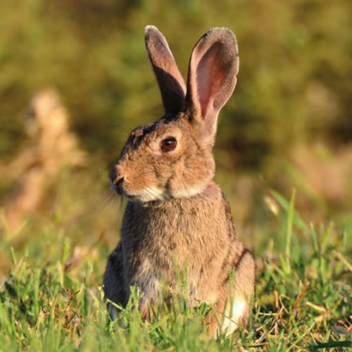 3 Claves para la recuperación del conejo de monte