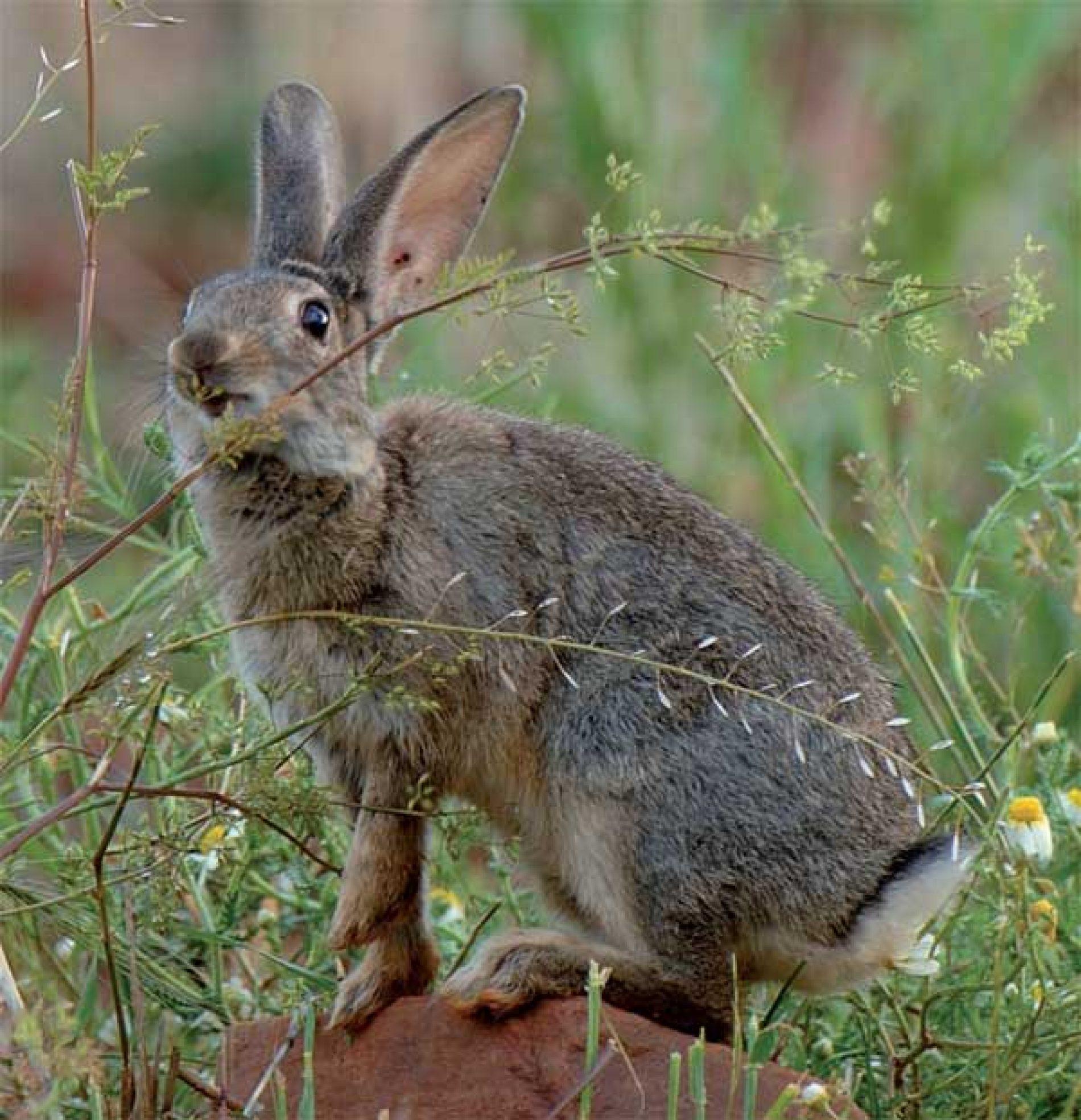 No todos los conejos de monte son iguales