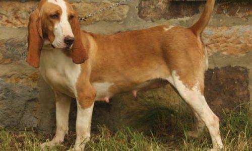 El Sabueso español, sus enfermedades y soluciones veterinarias