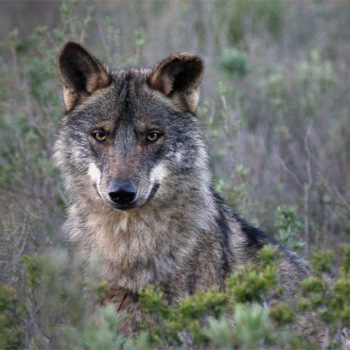 En el nombre del lobo