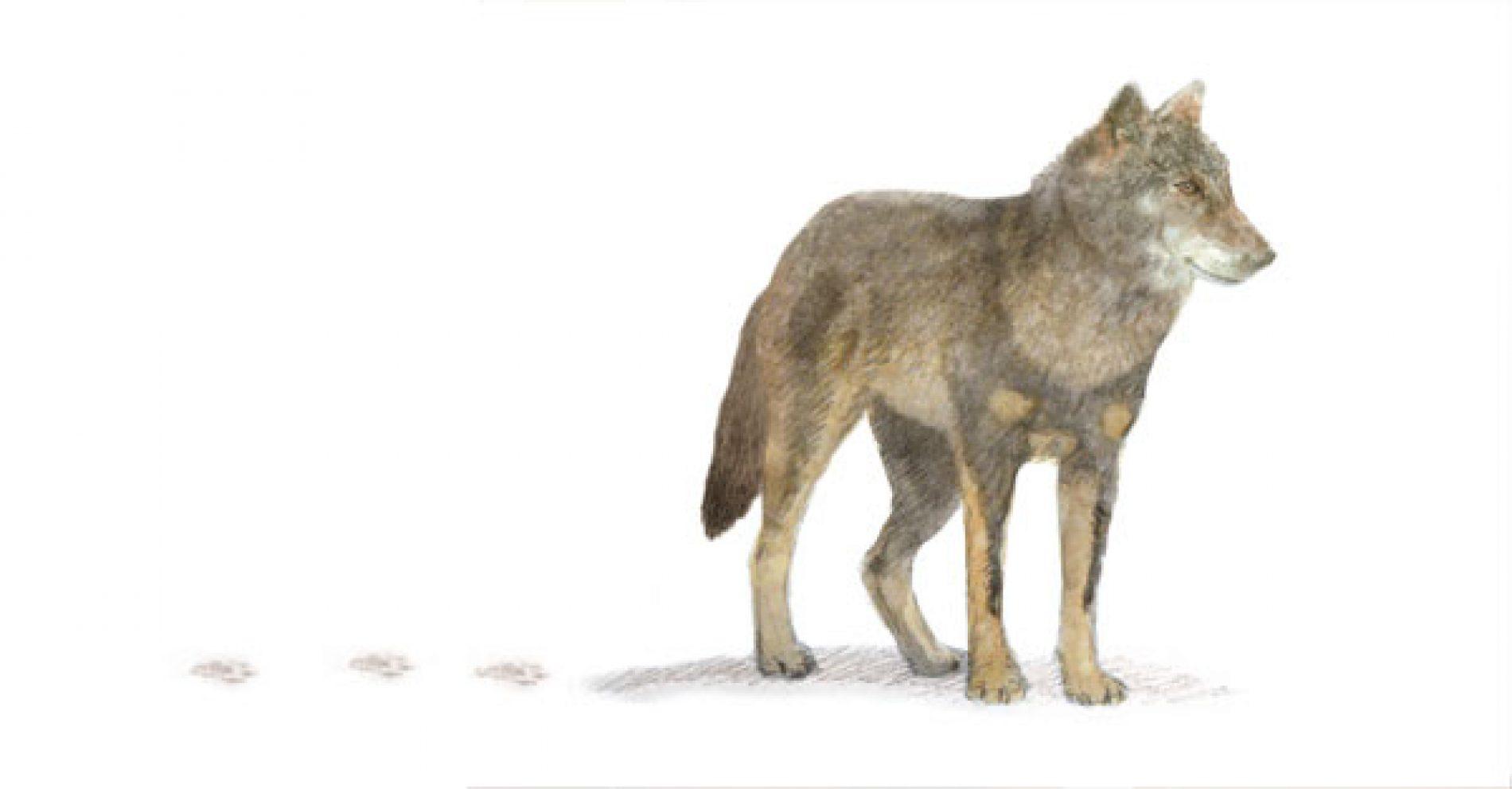 Sobre los rastros del lobo ibérico