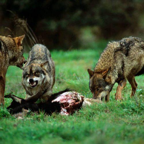 Propuesta de Ayudas Preventivas del Ataque del Lobo