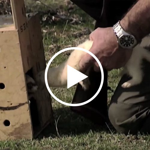Documental de caza de conejos con hurón