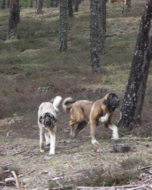 perros-asilvestrados-detalle-1
