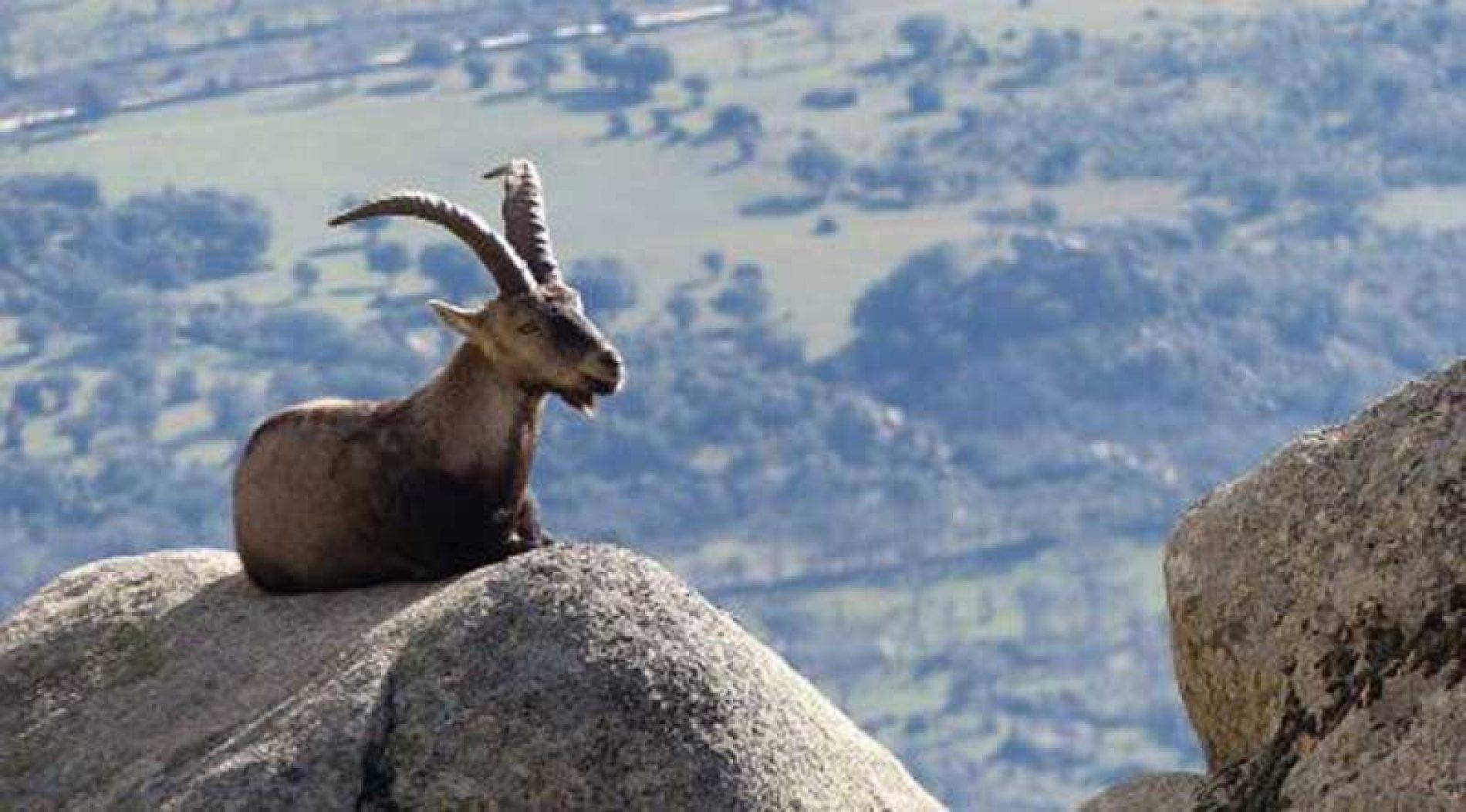 La ONC considera irresponsable paralizar los controles de cabras en Guadarrama.