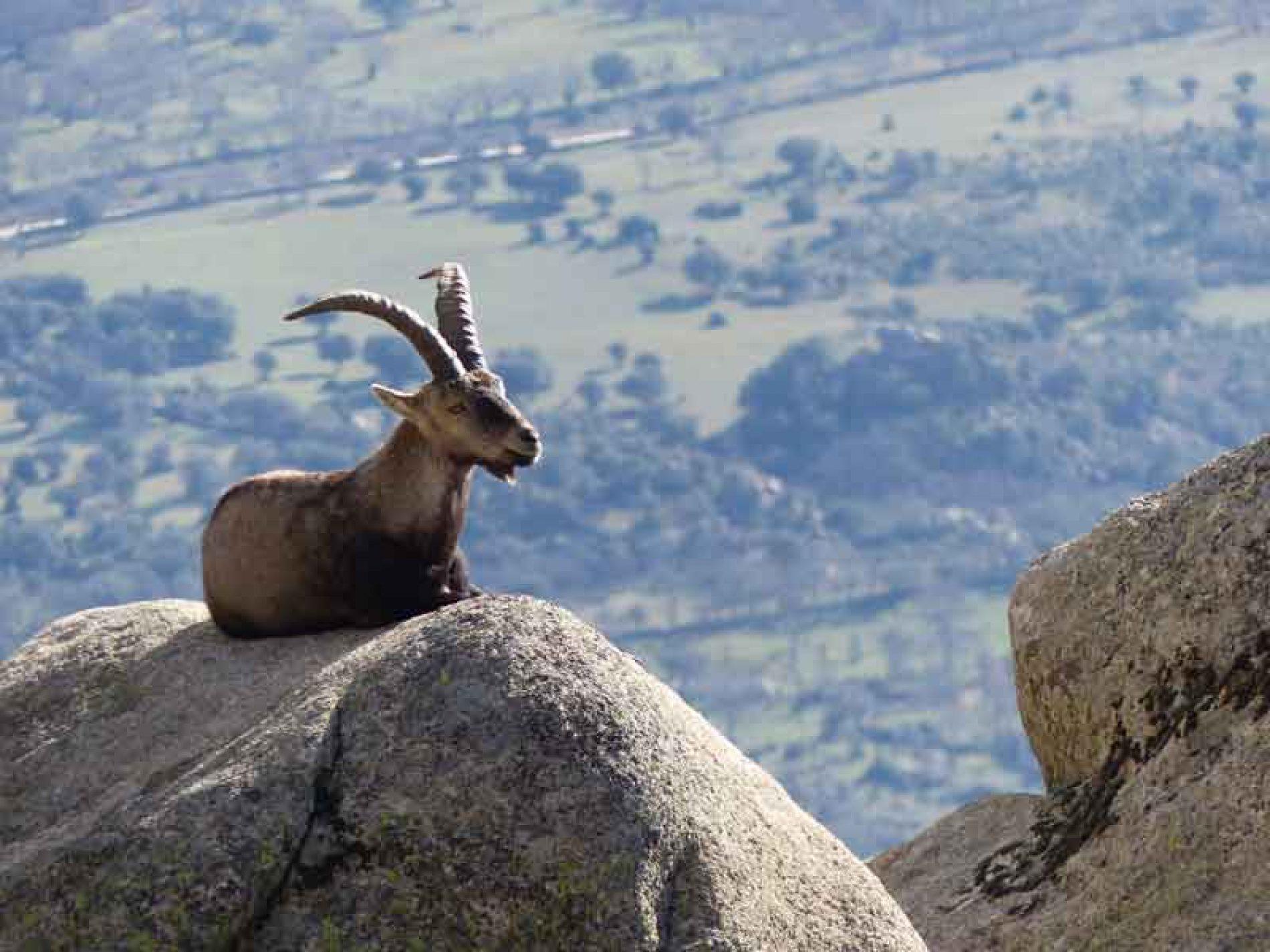 La ONC y ARTEMISAN contra PACMA por la caza de cabras en Guadarrama