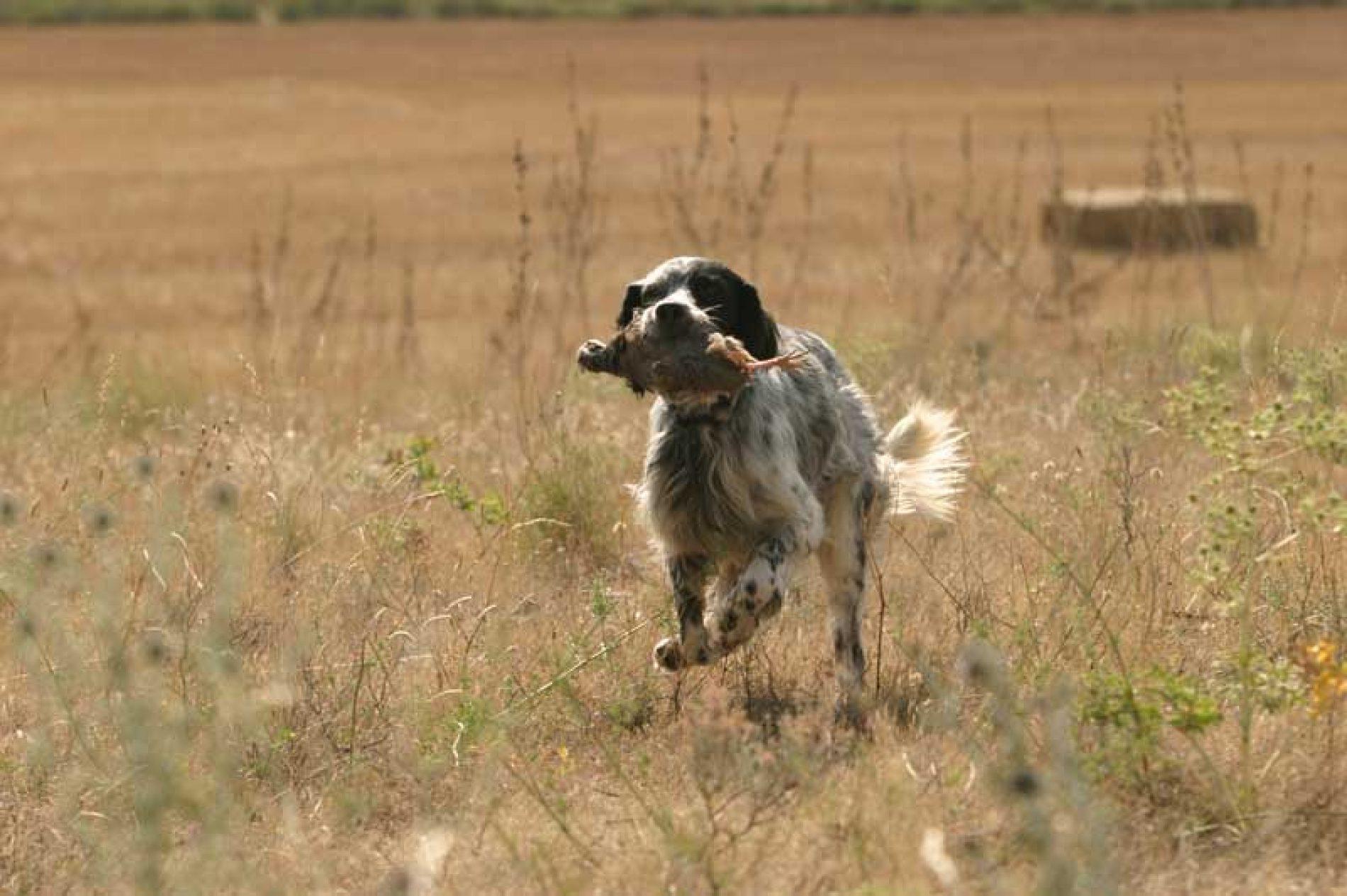 ¿Cómo adiestrar a mi perro para que cobre bien?