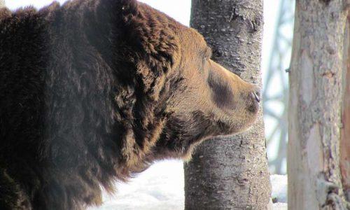 Adiós, oso rumano, adiós